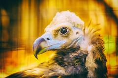 Settle Down (Thomas Hawk) Tags: america cinereousvulture forestpark missouri mo saintlouiszoo stlouis usa unitedstates unitedstatesofamerica vulture zoo fav10