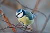 Blåmeis - Eurasian blue tit (Maren Fredagsvik) Tags: blåmeis eurasianbluetit tir fugler fugle birds bird norway norge trondheim trøndelag ringve ringvebotaniskehage