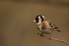 Goldfinch (Alan-Taylor) Tags: bird nature high batts highbatts ripon yorkshire goldfinch cardueliscarduelis