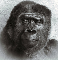 Cecil (Southern Darlin') Tags: portrait gorilla face primate gentle endangered bw louisville kentucky