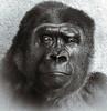 Cecil (Southern Darlin') Tags: portrait gorilla face primate gentle endangered bw louisville kentucky