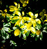 In the Spring Sunshine (judy dean) Tags: judydean 2018 sunshine aconite yellow