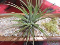 Air Plant (DianesDigitals) Tags: dianesdigitals cacti cactus succulents airplant tillandsia