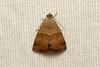 Erebidae sp. (Moth) - South Africa (Nick Dean1) Tags: animalia arthropoda arthropod hexapoda hexapod insect insecta lepidoptera moth satara krugernationalpark southafrica