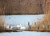 cohabitation ! (jean-daniel david) Tags: oiseau oiseaudeau cygne héron nature roseau eau réservenaturelle lac lacdeneuchâtel