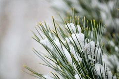 Winter (KaDeWeGirl) Tags: newyorkcity bronx pelhambay park winter snow green pine needles