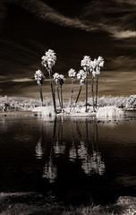 Palm Tree Reflections - Infrared (Bill Gracey 17 Million Views) Tags: reflections reflection palmtrees nature naturalbeauty surreal infrared infraredphotography ir convertedinfraredcamera highcontrast santeelakes clouds sky water