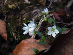Early Spring Beauties (BlueRidgeKitties) Tags: canonpowershotsx40hs profiletrail grandfathermountainstatepark springbeauty claytoniacaroliniana caryophyllaceae westernnorthcarolina southernappalachians
