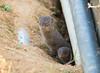 The mongoose of Okinawa (Okinawa Nature Photography) Tags: themongooseofokinawa introduced invasivespeciesinokinawa mongoose animalsofokinawa wildlifephotographybyshawnmiller naturephotographybyshawnmiller nonnativeanimalsofokinawa