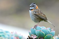 Rufous-Collared Sparrow (Zonotrichia capensis) (Adam Dhalla) Tags: zonotrichia capensis bird wild savegre cr costa rica hotel cactus rufouscollared sparrow central america