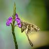 Blurry-striped Longtail (johndbillig) Tags: arienal nayara rafting butterfly purple flower costarica a9 100400gm morning rain