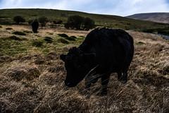 cow (Maryna Beliauskaya) Tags: cow england animal natulal landscape mountain horizont feild soll grass soil sky field