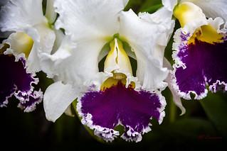 orchidée Cattleya Mossiae