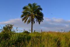 004-006  Palmeira do dendezeiro (agnaldo.severo) Tags: árvore grama nikon nikond3100 céu azul natureza