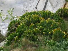 Golden samphire (Philip_Goddard) Tags: goldensamphire inulacrithmoides inula compositae asteraceae wildflowers floweringplants flowers plants nature naturalhistory cliff southwestengland england unitedkingdom britain british britishisles greatbritain uk europe