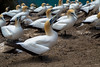 _HDA0959.jpg (There is always more mystery) Tags: capekidnappers gannets northisland newzealand clifton hawkesbay nz
