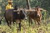Maikal hills - Chhattisgarh - India (wietsej) Tags: maikal hills chhattisgarh india sony a77ii a77m2 minolta100mmf28dafmacro 100mm cows farming man tribal