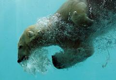 polarbear Blijdorp BB2A5300 (j.a.kok) Tags: ijsbeer beer bear polarbear arctic ursusmaritimus blijdorp animal noordpool northpole mammal zoogdier dier