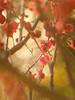 Red plum blossoms (Tomo M) Tags: flower red ume japaneseplum bokeh blur tokyo pentacon nature apricot
