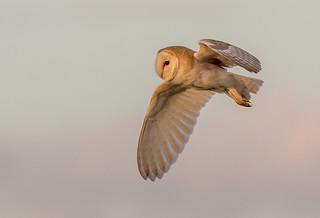 DSC0770  Barn Owl...