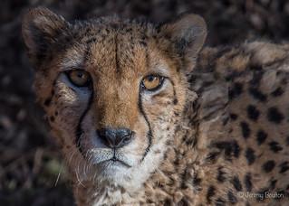 The Cheetah Look