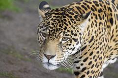Jaguar portrait (San Diego Shooter) Tags: sandiego sandiegozoo animal animals jaguar