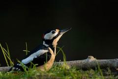 Pica pau malhado grande| Great spotted woodpecker| Dendrocopos major Carapita, Ourém (rafaelprazeres9) Tags: nikon nikon3100 birdwatching wildnature nikon7100 wildpics avesdeportugal birding aves portugal photography dendrocopos picapau carapita ourém