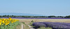DSC05598 - Lavandin (HerryB) Tags: lavendel lavender lavandin hybride duftstoff parfum provence pava ahp 04 alpesdehauteprovence hauteprovence dept france francia frankreich 2017 2010 konicaminolta sigma europa europe bechen fotos photos photography herryb heribertbechen