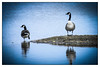 Eyes left (Photos And All That) Tags: bird birds lake lakes winter telephoto zoom nikon p90 colour vignette reflection reflections nature wildlife attenborough reserve attenboroughnaturereserve water waters vignettes vignetted coolpix nikonp90coolpix goose geese canada canadageese