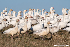 Hey You In The Back!  Eyes Right! (freshairphoto) Tags: snow geese goose hill grass flock migration facing right middle creek wildlife management area kleinfeltersville pa artspearing nikon d500 200500 zoom handheld