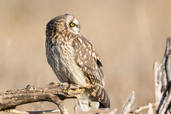 Short-eared Owl (Asio flammeus) (Tony Varela Photography) Tags: owl shortearedowl seow photographertonyvarela asioflammeus canon