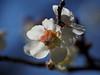 Japanese apricot (Prunus mume, 梅) blossoms (Greg Peterson in Japan) Tags: 梅 shiga plants 栗東市 ritto japan plumblossoms 植物 花 flowers takano 滋賀県 shigaprefecture