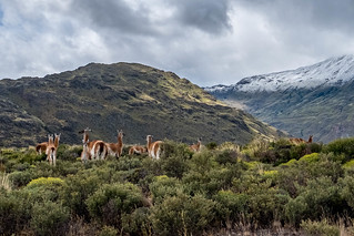 Parque Patagonia, Valle Chacabuco, family of Guanacos