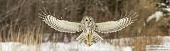 Barred owl (eric marceau) Tags: barred owl flight winter quebec canada