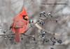 _E4A1389-3 (Greggor58) Tags: red bird nature berries cardinal tree beak winter ontario canada