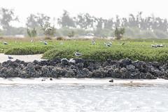 Mouettes rieuses (hubertguyon) Tags: sénégal senegal afrique africa sahel ouest west langue de barbarie oiseau bird