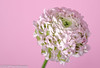 "On our diningtable, ""French Ranunculus"" (A.J. Boonstra) Tags: jinbei canon canon70d canoneos ranonkel frenchranunculus jinbeiwhiteumbrella jinbeidiffusionjumboumbrella ef100mmf28lmacroisusm eefde closeup falconeyesskk2150d falconeyes pink macro flowers"