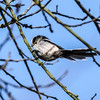 long tailed tit (Paul Wrights Reserved) Tags: longtailedtit tit bird birding birds birdphotography birdwatching perched perching small tiny nature naturephotography cute cutie