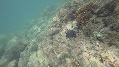 puffer fish snorkel (brian eagar - very busy - not much time to comment) Tags: cabopulmo mexico baja california january 2018 snorkel snorkeling seaofcortez ocean sea water fish pufferfish sony actioncam waterproof 4k video clip movie action