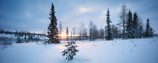 Fir tree in the snow winter forest  in blue tones panorama