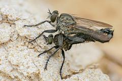 raptor love (Olaf Traumflieger) Tags: asilidae raubfliege robberfly paarung