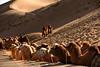 Camels 駱駝 (MelindaChan ^..^) Tags: camel crew 駱駝隊innermongolia china 內蒙古 阿拉善右旗 巴丹吉林 animal ride desert 駱駝 life chanmelmel melinda melindachan