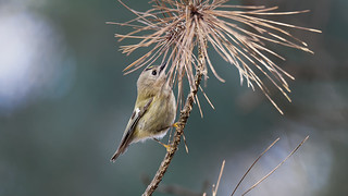 Goldcrest in forest (2/3)