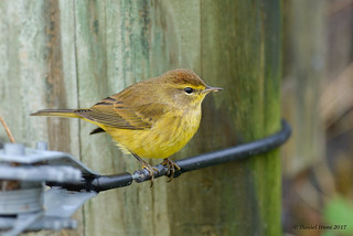 Yellow Palm Warbler (late)