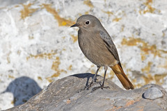 Black Redstart (drbut) Tags: blackredstart phoenicurusochruros chats bird birds breandown avian nature wildlife canonef500f4lisusm