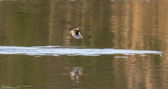Kingfisher (Steve (Hooky) Waddingham) Tags: bird british blue flight fishing fish birding countryside catch nature wild wildlife