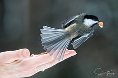 Ailes déployées (www.sophiethibault.ca) Tags: 2018 lac mésange oiseau campagne février chickabee bird
