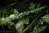 Rugiada (frillicca) Tags: 2009 acqua agosto august detail dettagli drops foglia gocce leaf macro macrofotografia nikkor nikkor105mmf28 nikon nikond300 particolare pianta plant rugiada