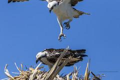Pandion haliaetus,Osprey, Balbuzard pêcheur (beluga 7) Tags: pandionhaliaetus osprey balbuzardpêcheur holbox bird oiseau birdwatcher travel voyage mexique mexico yucatán