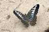 ... (Rene Mensen) Tags: butterfly wings wildlands zoo drenthe d5100 dierentuin dierenpark insect rene mensen macro micro mariposa